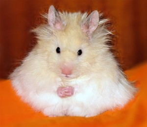 curiousanimals-dot-net-hamster